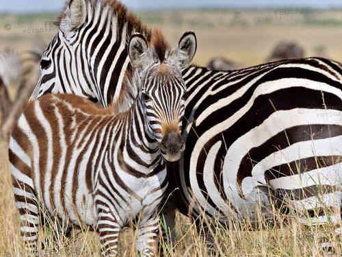 wandbilder wildlife afrika tiere motive wandbild leinwandbilder. Black Bedroom Furniture Sets. Home Design Ideas