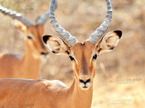 Face of an Impala Antelope