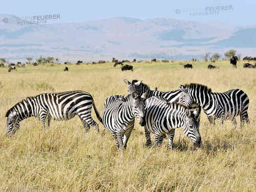 Zebras of the Savannah