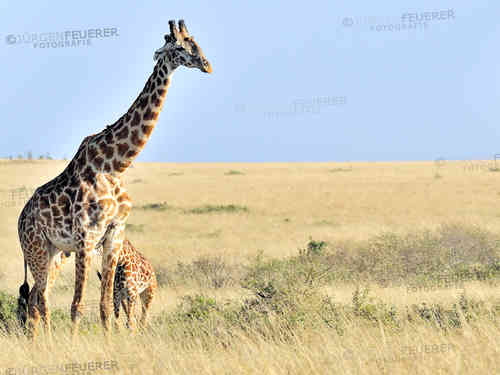 Giraffes of the Mara