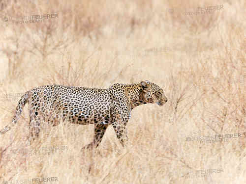 Leopard on Excursion