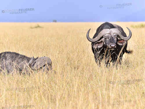 Buffalos in the high yellow Grass of Masai Mara