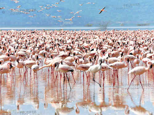 Swarm of Flamingos