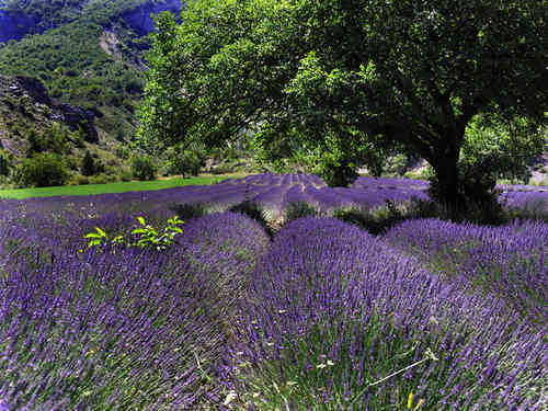 Field of Lavender with a tree
