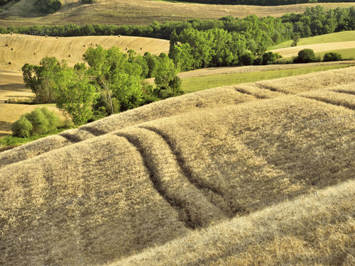 Cornfields of Tuscany