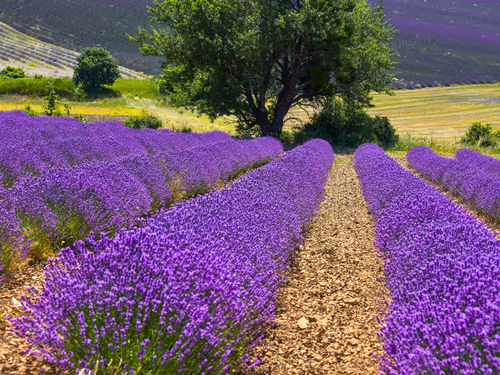 Rows of lavender with a tree