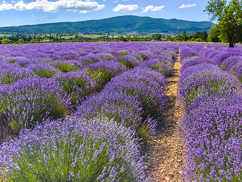 Sea of lavender blossom