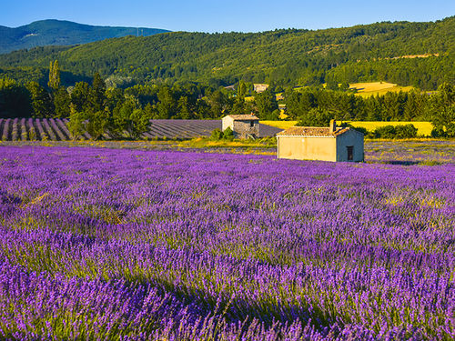 Lavender in th evening