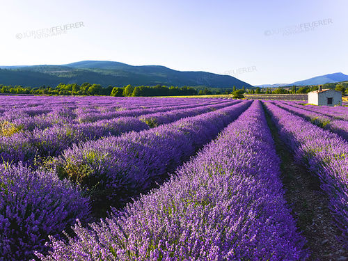 Lavender field with a hut