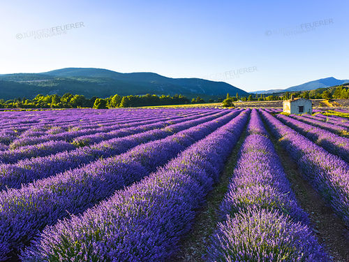 Provence in Violett
