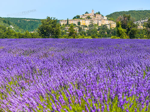 Lavender at Banon