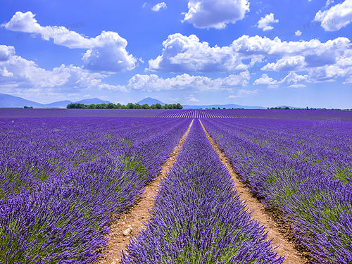 Lavender at Valensol