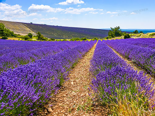Landscape of the Lavender