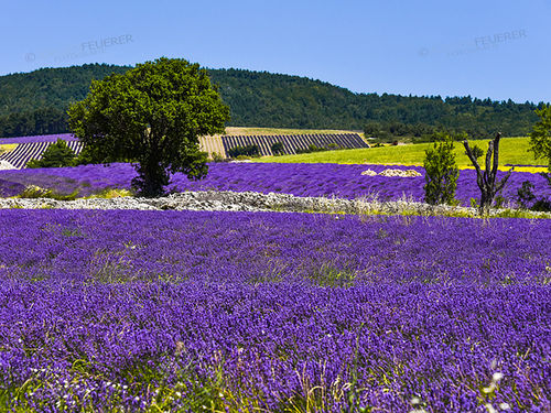 Idyll of the Provence