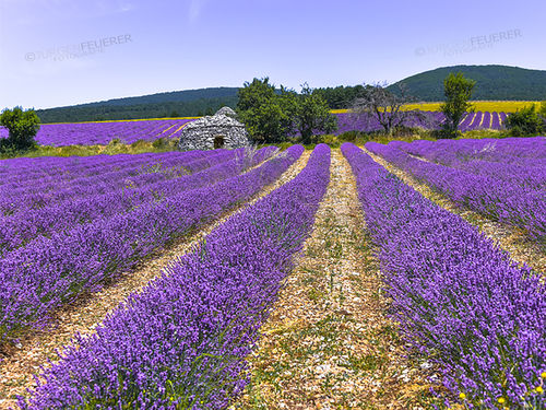 Lavender field with Borie